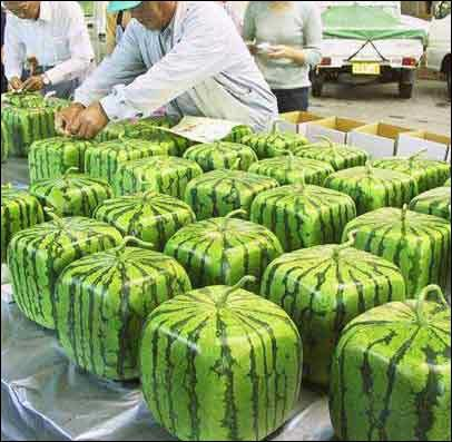 Awesome square watermelons in Japan