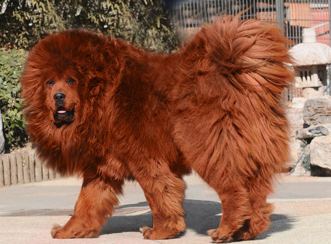 Another Red Tibetan Mastiff