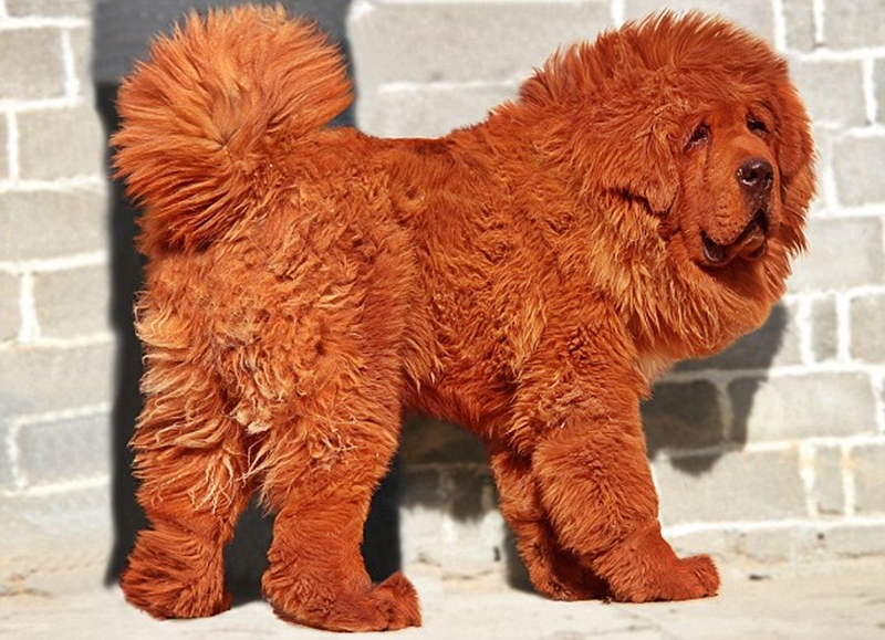 The Red Tibetan Mastiff: Big Splash